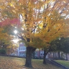 The maple tree in front of Smith Wright Hall